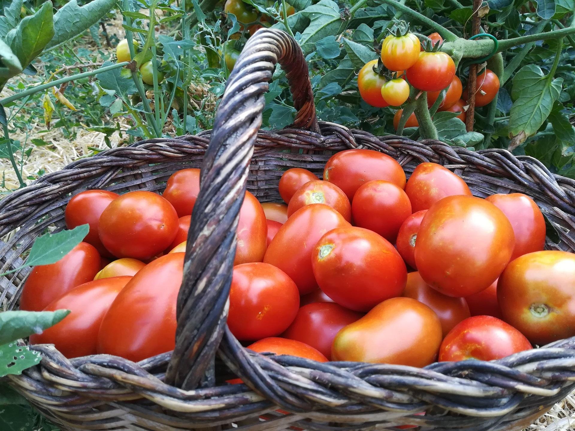 Tomaquets ecologics